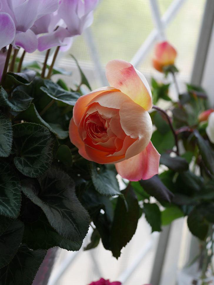 レディ・エマ・ハミルトン(Lady Emma Hamilton)の秋花を切り花にした。木立バラ。2020年-008.jpg