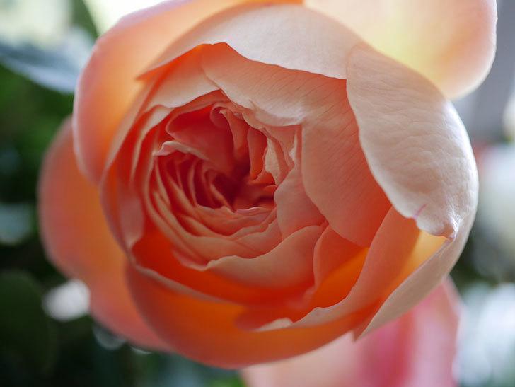 レディ・エマ・ハミルトン(Lady Emma Hamilton)の秋花を切り花にした。木立バラ。2020年-011.jpg