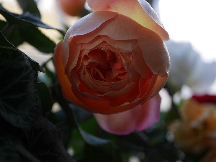 レディ・エマ・ハミルトン(Lady Emma Hamilton)の秋花を切り花にした。木立バラ。2020年-012.jpg