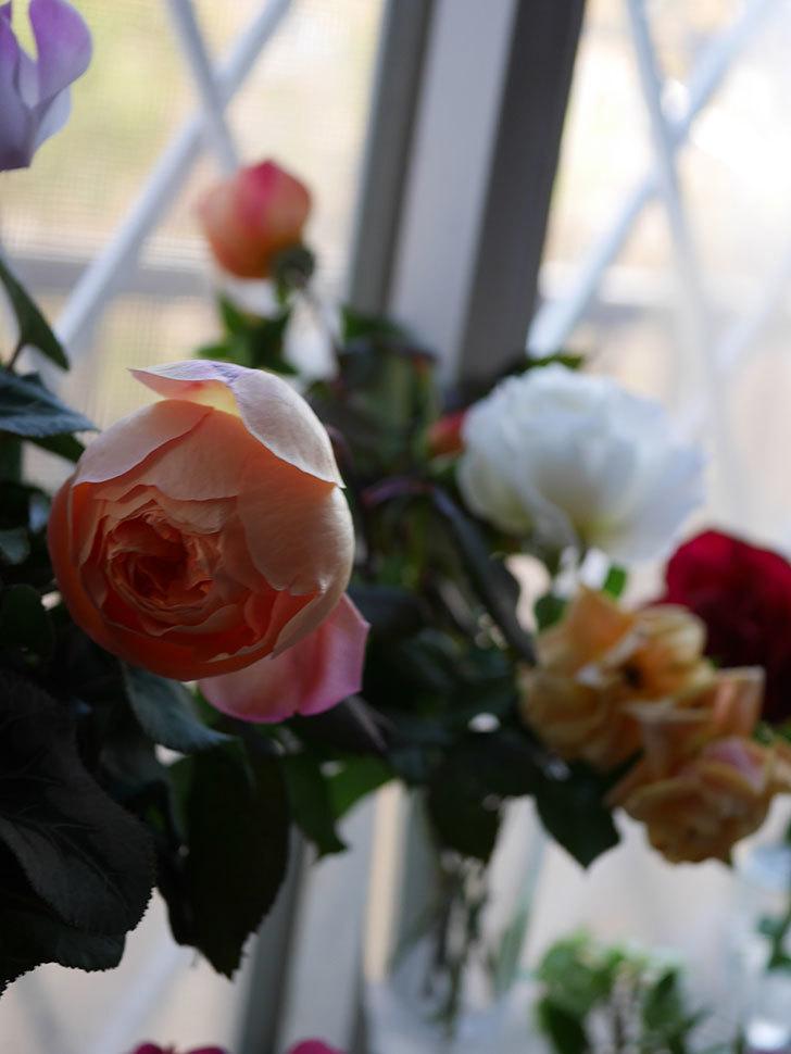 レディ・エマ・ハミルトン(Lady Emma Hamilton)の秋花を切り花にした。木立バラ。2020年-015.jpg