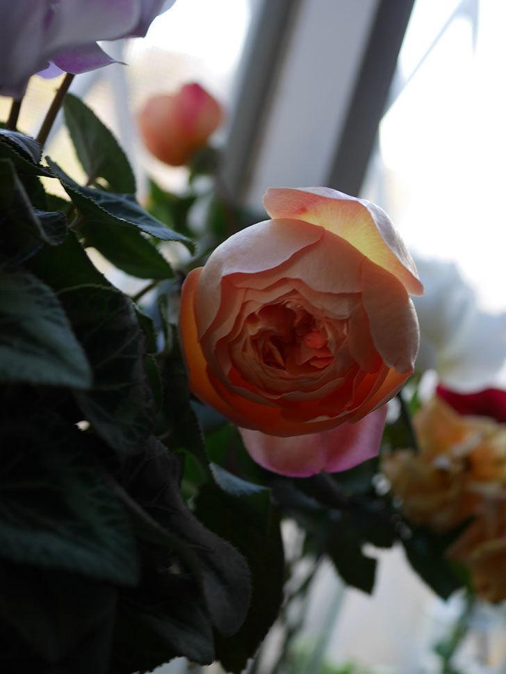 レディ・エマ・ハミルトン(Lady Emma Hamilton)の秋花を切り花にした。木立バラ。2020年-016.jpg