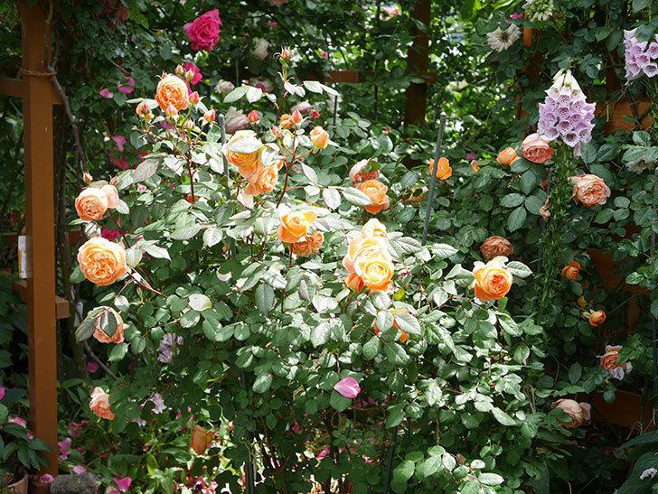 レディ・エマ・ハミルトン(Lady Emma Hamilton)の花がたくさん咲いた。木立バラ。2021年-001.jpg