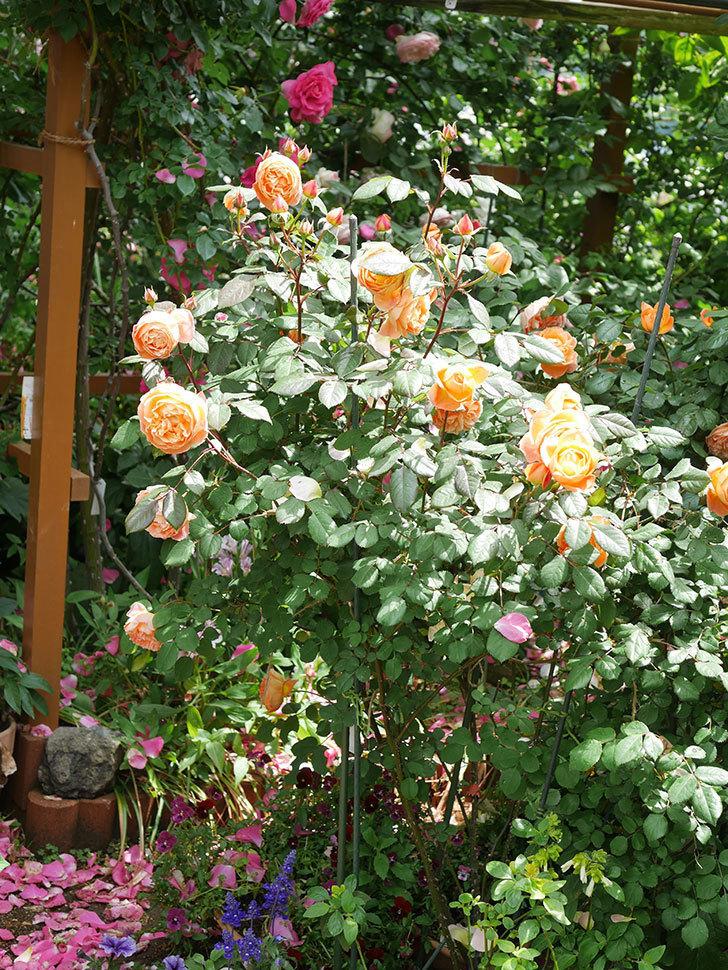 レディ・エマ・ハミルトン(Lady Emma Hamilton)の花がたくさん咲いた。木立バラ。2021年-002.jpg
