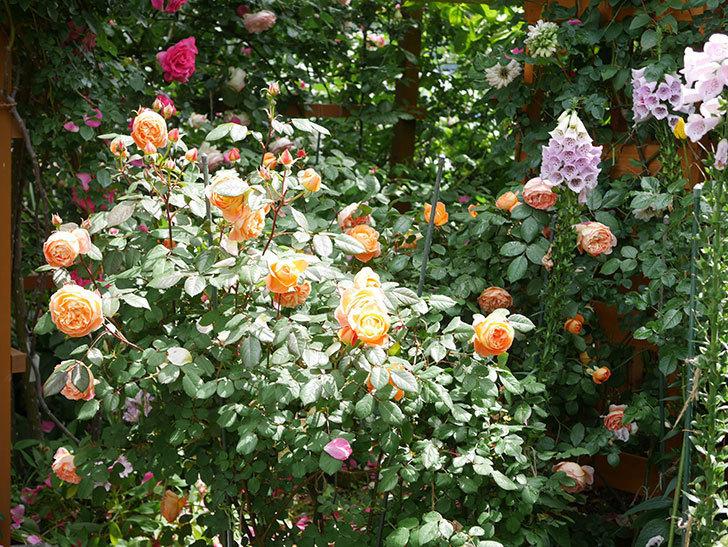 レディ・エマ・ハミルトン(Lady Emma Hamilton)の花がたくさん咲いた。木立バラ。2021年-003.jpg