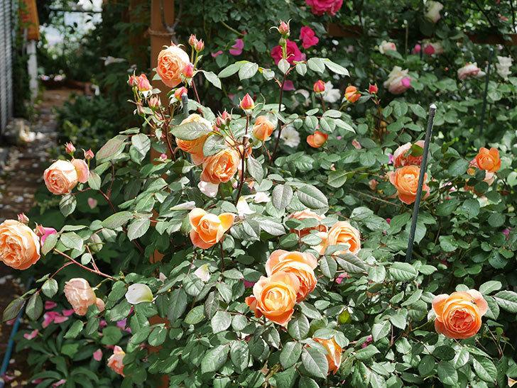 レディ・エマ・ハミルトン(Lady Emma Hamilton)の花がたくさん咲いた。木立バラ。2021年-004.jpg