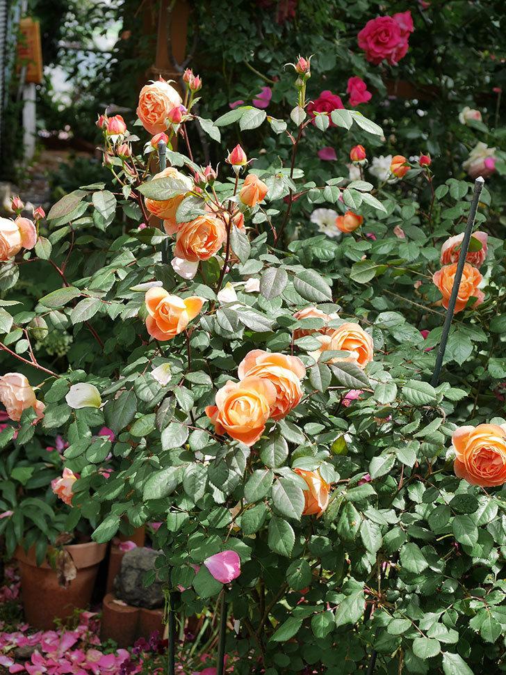 レディ・エマ・ハミルトン(Lady Emma Hamilton)の花がたくさん咲いた。木立バラ。2021年-005.jpg