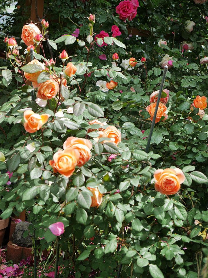 レディ・エマ・ハミルトン(Lady Emma Hamilton)の花がたくさん咲いた。木立バラ。2021年-006.jpg