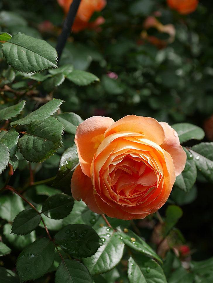 レディ・エマ・ハミルトン(Lady Emma Hamilton)の花がたくさん咲いた。木立バラ。2021年-007.jpg
