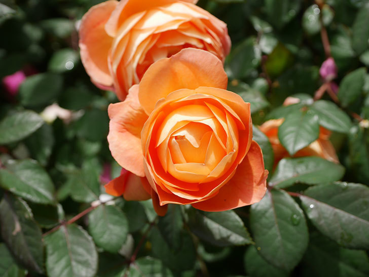 レディ・エマ・ハミルトン(Lady Emma Hamilton)の花がたくさん咲いた。木立バラ。2021年-008.jpg