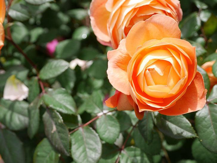 レディ・エマ・ハミルトン(Lady Emma Hamilton)の花がたくさん咲いた。木立バラ。2021年-009.jpg