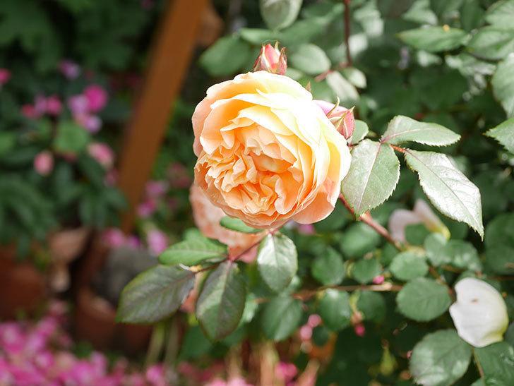 レディ・エマ・ハミルトン(Lady Emma Hamilton)の花がたくさん咲いた。木立バラ。2021年-011.jpg