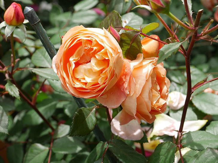 レディ・エマ・ハミルトン(Lady Emma Hamilton)の花がたくさん咲いた。木立バラ。2021年-012.jpg