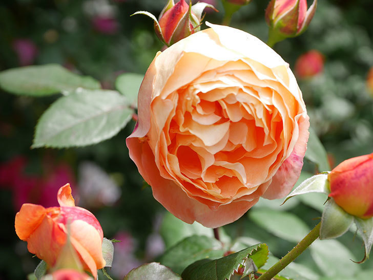 レディ・エマ・ハミルトン(Lady Emma Hamilton)の花がたくさん咲いた。木立バラ。2021年-013.jpg