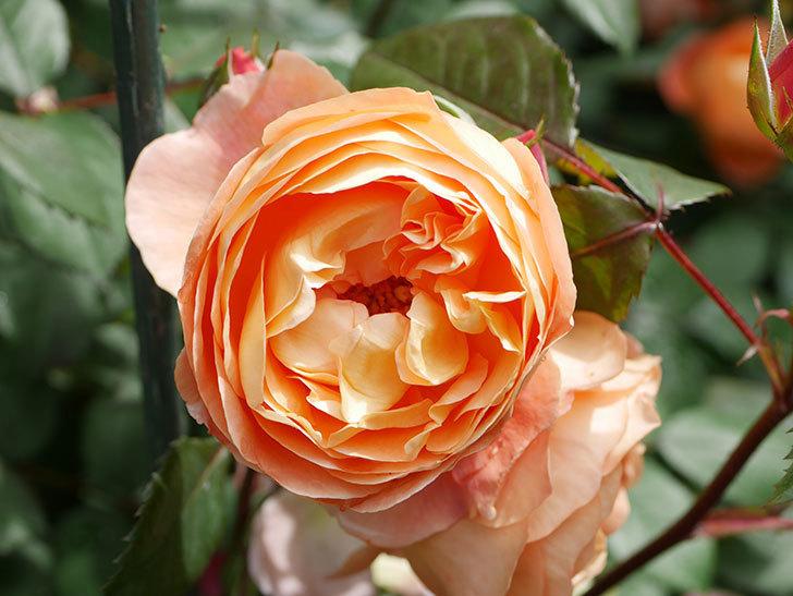 レディ・エマ・ハミルトン(Lady Emma Hamilton)の花がたくさん咲いた。木立バラ。2021年-014.jpg