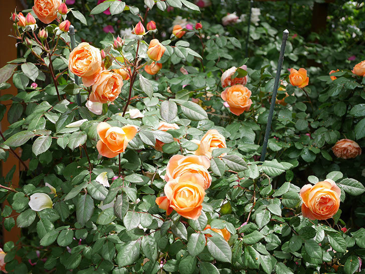 レディ・エマ・ハミルトン(Lady Emma Hamilton)の花がたくさん咲いた。木立バラ。2021年-017.jpg