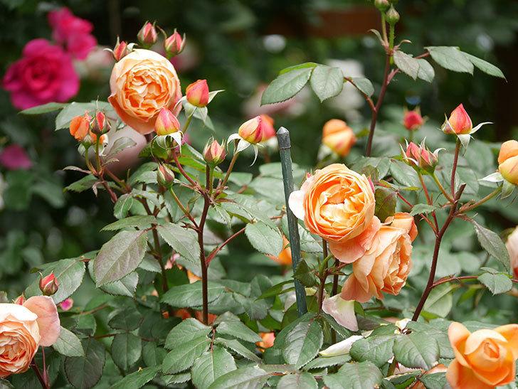 レディ・エマ・ハミルトン(Lady Emma Hamilton)の花がたくさん咲いた。木立バラ。2021年-018.jpg