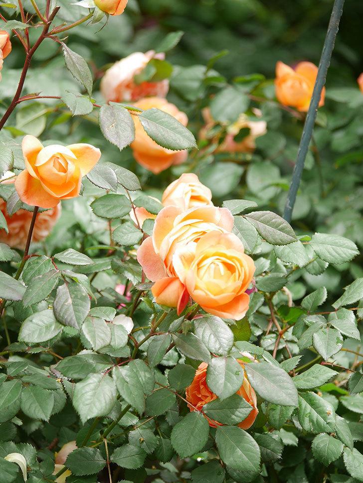 レディ・エマ・ハミルトン(Lady Emma Hamilton)の花がたくさん咲いた。木立バラ。2021年-019.jpg
