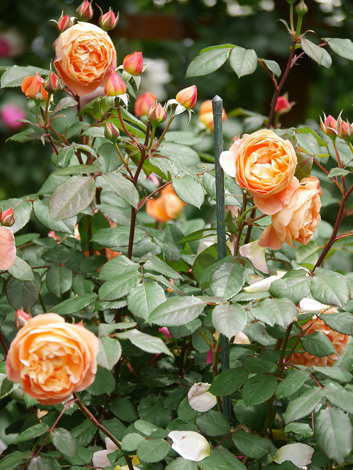 レディ・エマ・ハミルトン(Lady Emma Hamilton)の花がたくさん咲いた。木立バラ。2021年-021.jpg