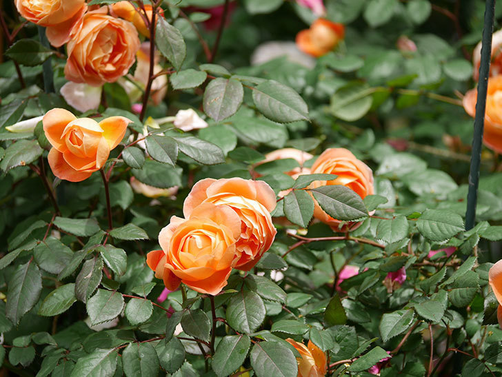 レディ・エマ・ハミルトン(Lady Emma Hamilton)の花がたくさん咲いた。木立バラ。2021年-022.jpg