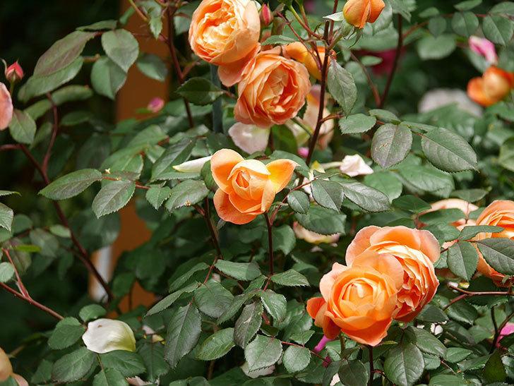 レディ・エマ・ハミルトン(Lady Emma Hamilton)の花がたくさん咲いた。木立バラ。2021年-023.jpg