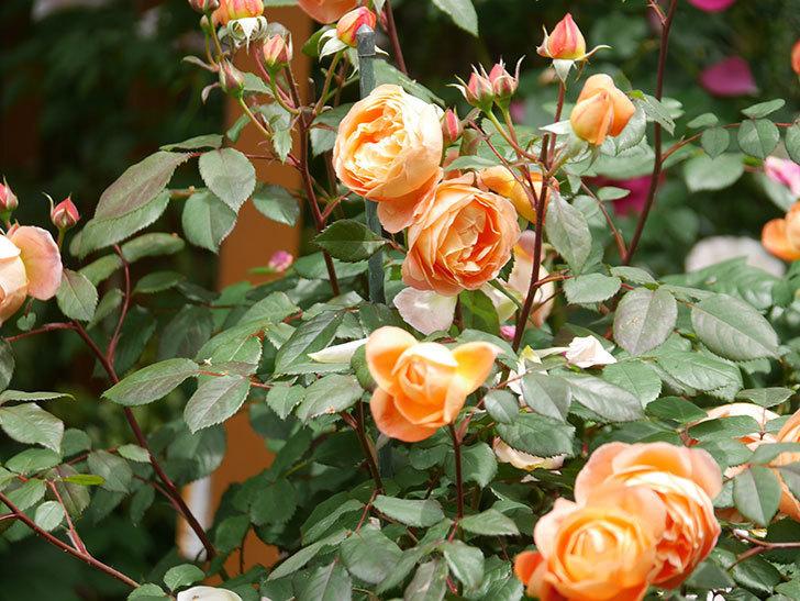 レディ・エマ・ハミルトン(Lady Emma Hamilton)の花がたくさん咲いた。木立バラ。2021年-024.jpg