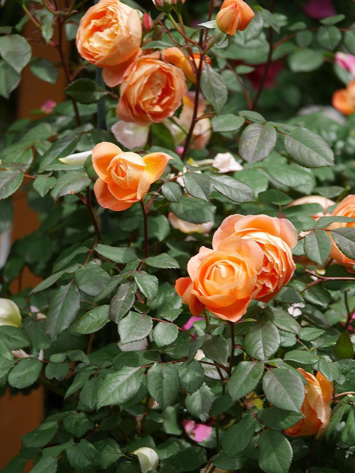 レディ・エマ・ハミルトン(Lady Emma Hamilton)の花がたくさん咲いた。木立バラ。2021年-025.jpg