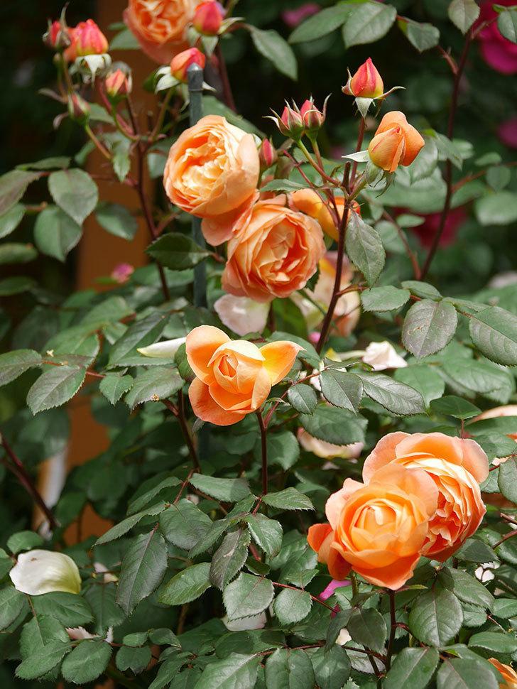 レディ・エマ・ハミルトン(Lady Emma Hamilton)の花がたくさん咲いた。木立バラ。2021年-026.jpg