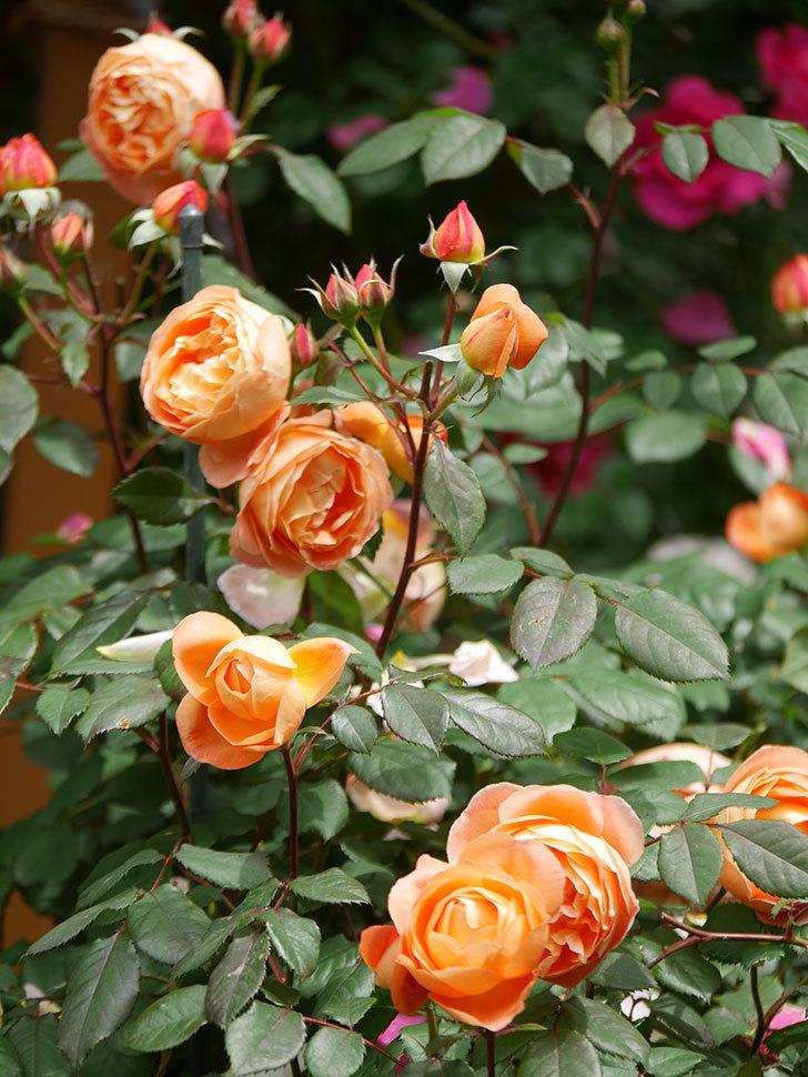 レディ・エマ・ハミルトン(Lady Emma Hamilton)の花がたくさん咲いた。木立バラ。2021年-027.jpg