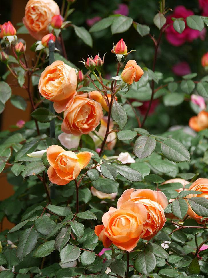 レディ・エマ・ハミルトン(Lady Emma Hamilton)の花がたくさん咲いた。木立バラ。2021年-028.jpg