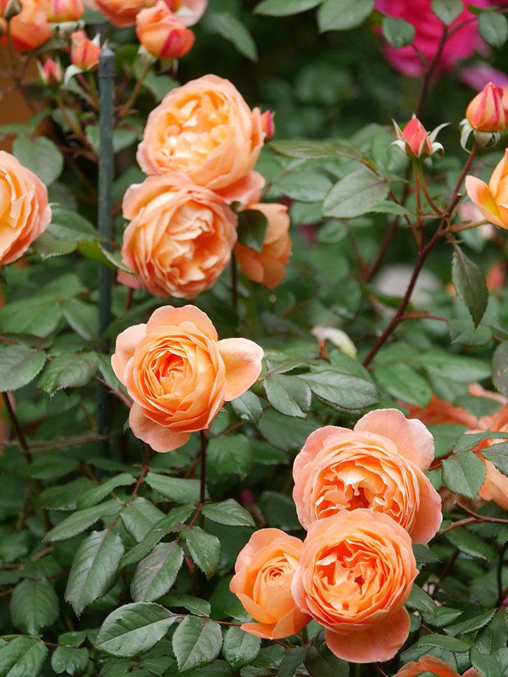 レディ・エマ・ハミルトン(Lady Emma Hamilton)の花がたくさん咲いた。木立バラ。2021年-030.jpg