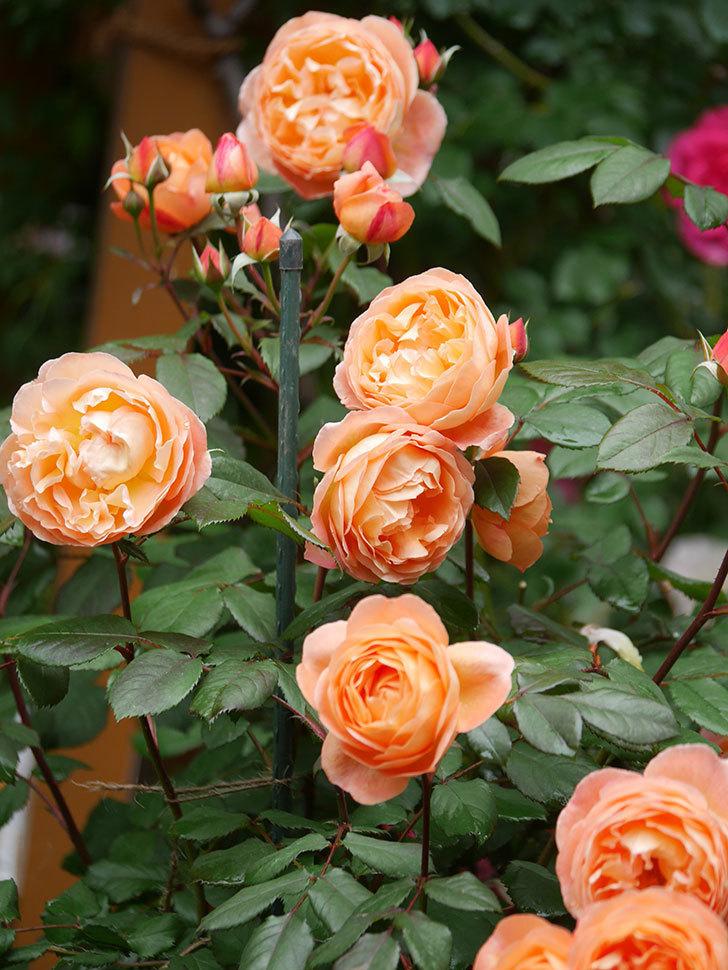 レディ・エマ・ハミルトン(Lady Emma Hamilton)の花がたくさん咲いた。木立バラ。2021年-031.jpg