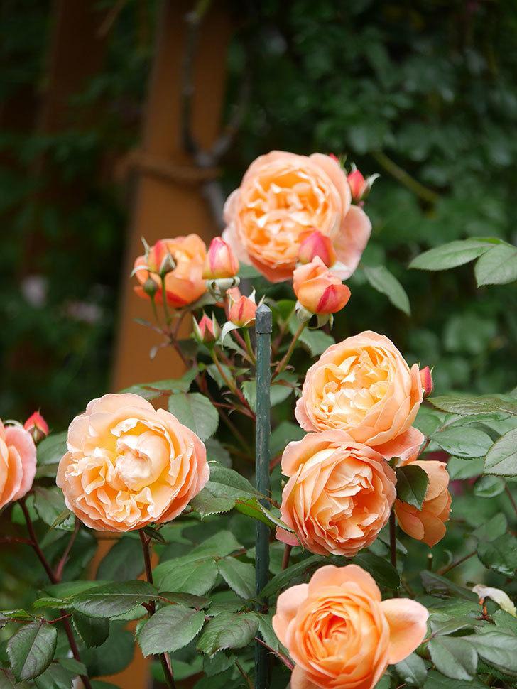 レディ・エマ・ハミルトン(Lady Emma Hamilton)の花がたくさん咲いた。木立バラ。2021年-032.jpg