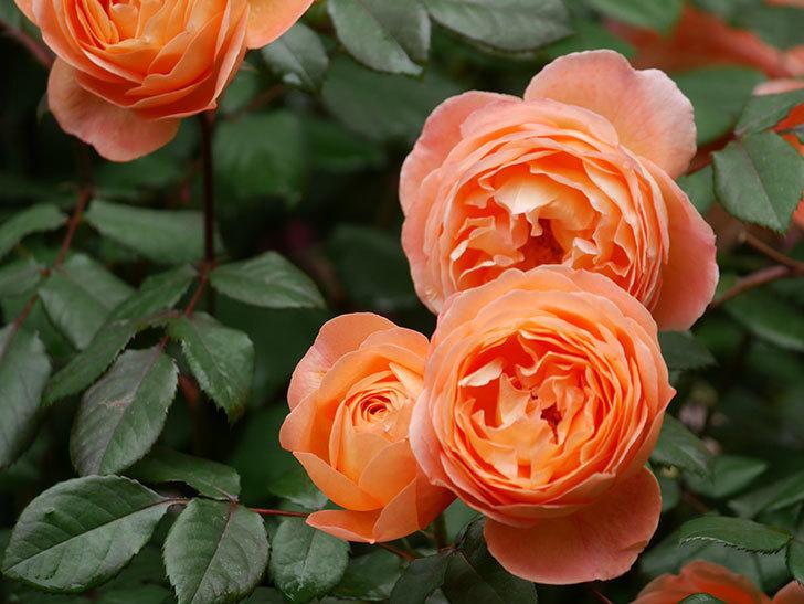 レディ・エマ・ハミルトン(Lady Emma Hamilton)の花がたくさん咲いた。木立バラ。2021年-033.jpg