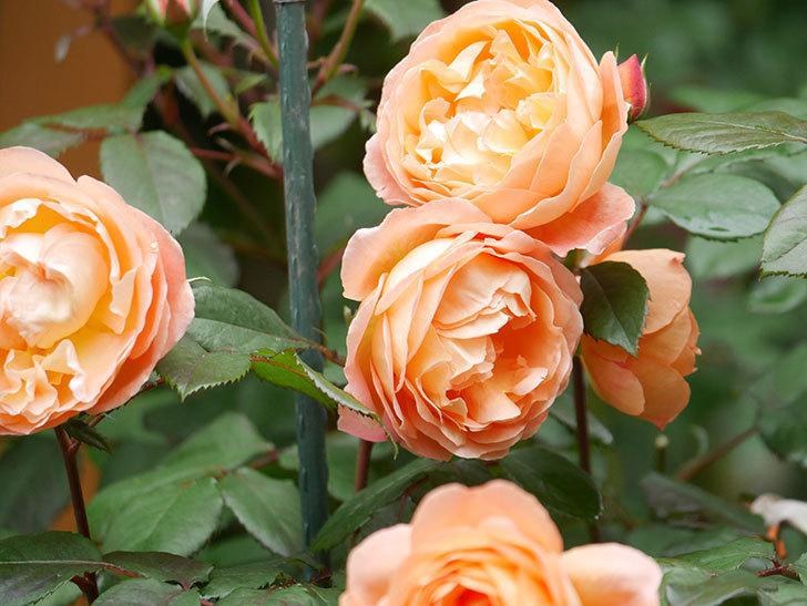 レディ・エマ・ハミルトン(Lady Emma Hamilton)の花がたくさん咲いた。木立バラ。2021年-034.jpg