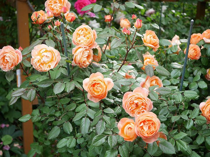 レディ・エマ・ハミルトン(Lady Emma Hamilton)の花がたくさん咲いた。木立バラ。2021年-035.jpg