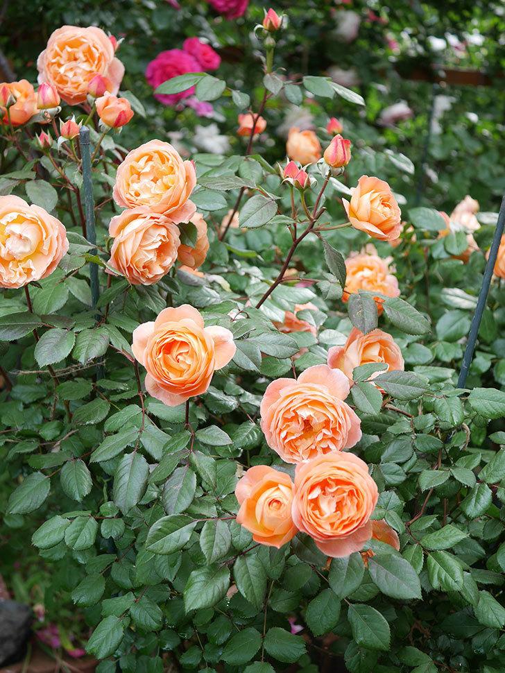 レディ・エマ・ハミルトン(Lady Emma Hamilton)の花がたくさん咲いた。木立バラ。2021年-036.jpg