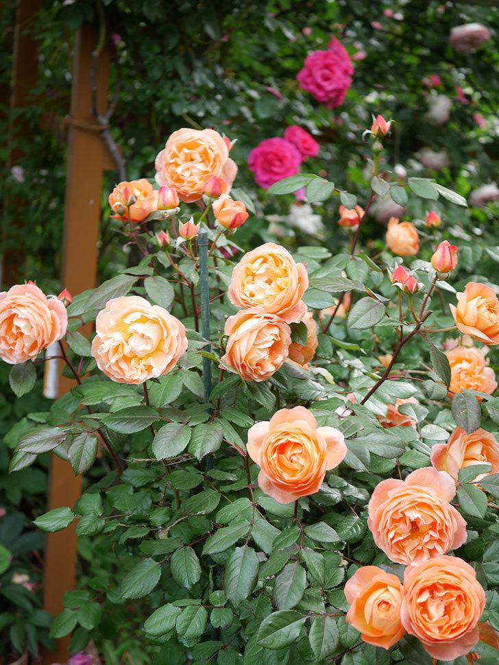 レディ・エマ・ハミルトン(Lady Emma Hamilton)の花がたくさん咲いた。木立バラ。2021年-037.jpg