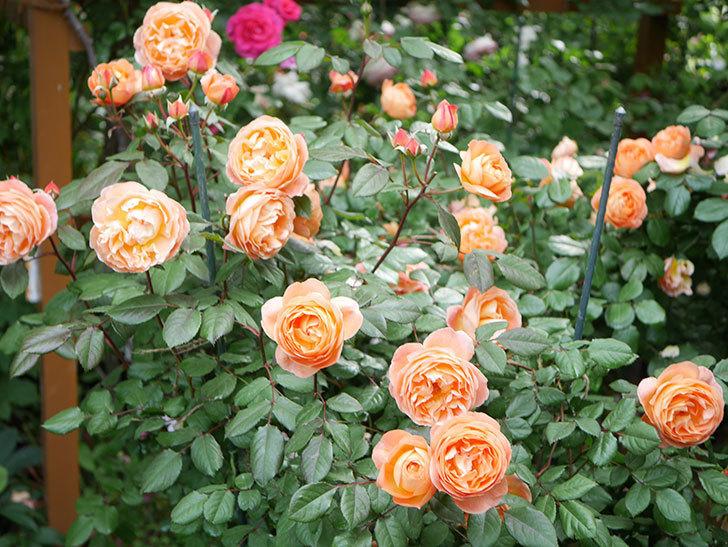 レディ・エマ・ハミルトン(Lady Emma Hamilton)の花がたくさん咲いた。木立バラ。2021年-038.jpg