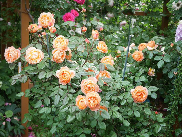 レディ・エマ・ハミルトン(Lady Emma Hamilton)の花がたくさん咲いた。木立バラ。2021年-039.jpg