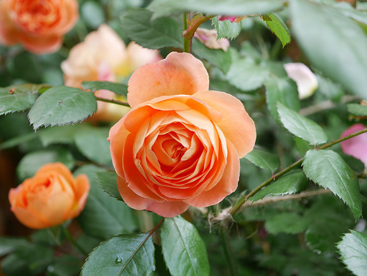 レディ・エマ・ハミルトン(Lady Emma Hamilton)の花がたくさん咲いた。木立バラ。2021年-040.jpg
