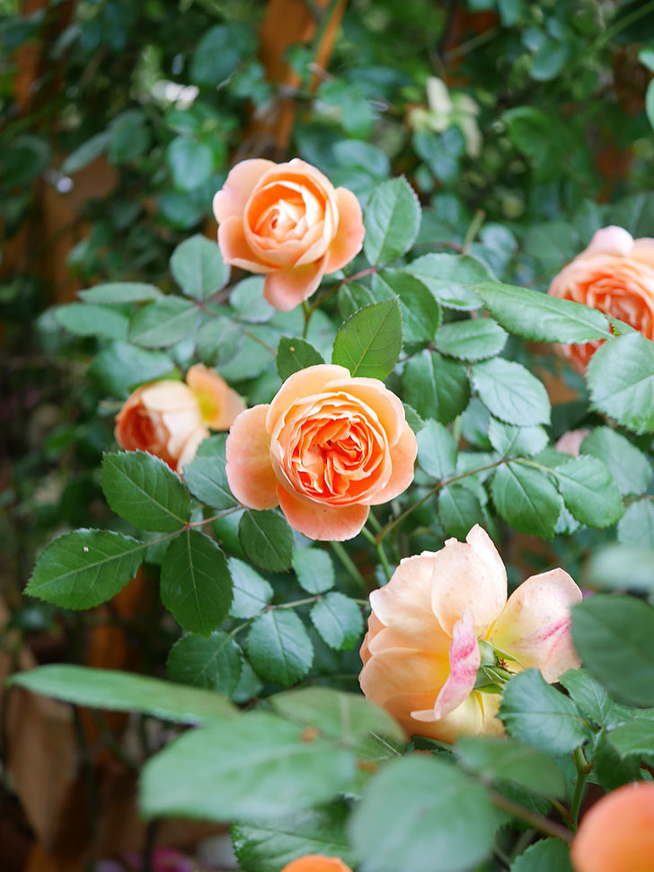 レディ・エマ・ハミルトン(Lady Emma Hamilton)の花がたくさん咲いた。木立バラ。2021年-041.jpg