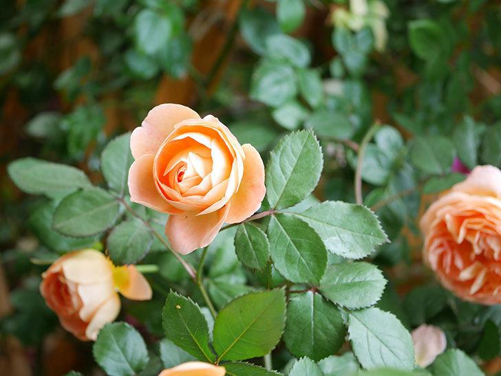 レディ・エマ・ハミルトン(Lady Emma Hamilton)の花がたくさん咲いた。木立バラ。2021年-042.jpg
