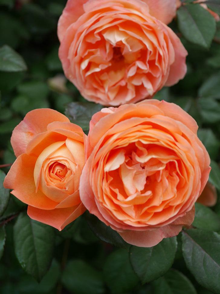 レディ・エマ・ハミルトン(Lady Emma Hamilton)の花がたくさん咲いた。木立バラ。2021年-043.jpg