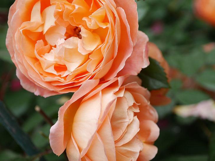 レディ・エマ・ハミルトン(Lady Emma Hamilton)の花がたくさん咲いた。木立バラ。2021年-044.jpg