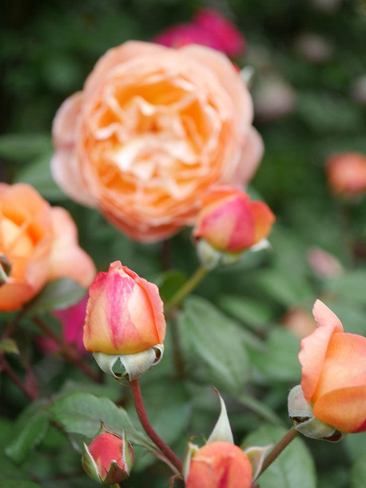 レディ・エマ・ハミルトン(Lady Emma Hamilton)の花がたくさん咲いた。木立バラ。2021年-045.jpg