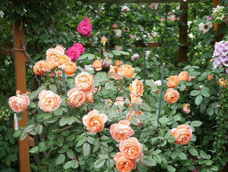 レディ・エマ・ハミルトン(Lady Emma Hamilton)の花がたくさん咲いた。木立バラ。2021年-046.jpg