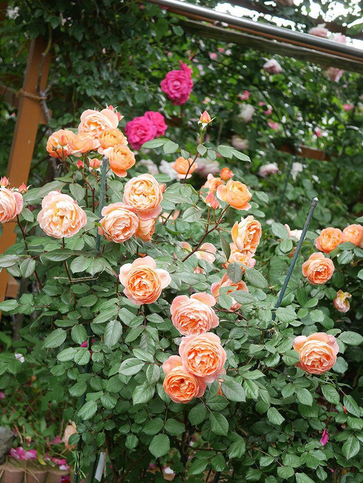 レディ・エマ・ハミルトン(Lady Emma Hamilton)の花がたくさん咲いた。木立バラ。2021年-047.jpg