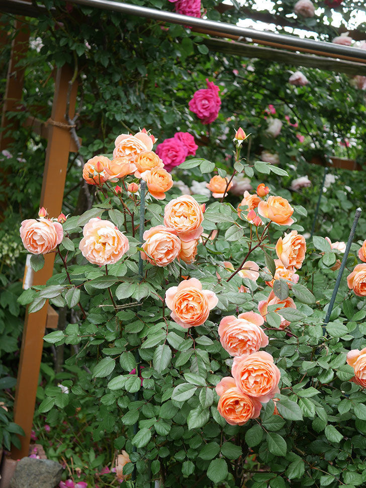 レディ・エマ・ハミルトン(Lady Emma Hamilton)の花がたくさん咲いた。木立バラ。2021年-048.jpg