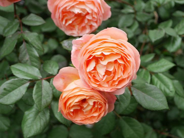 レディ・エマ・ハミルトン(Lady Emma Hamilton)の花がたくさん咲いた。木立バラ。2021年-049.jpg