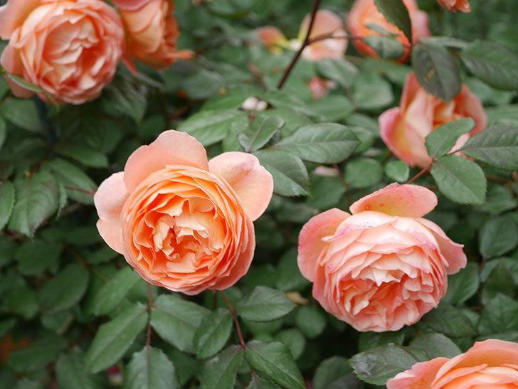 レディ・エマ・ハミルトン(Lady Emma Hamilton)の花がたくさん咲いた。木立バラ。2021年-050.jpg